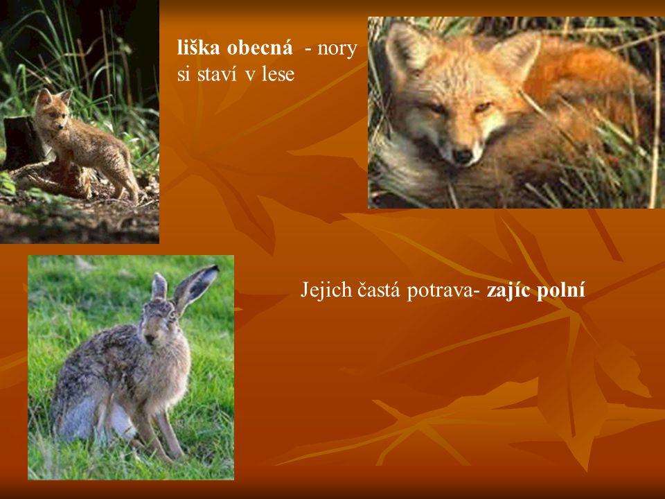 liška obecná - nory si staví v lese