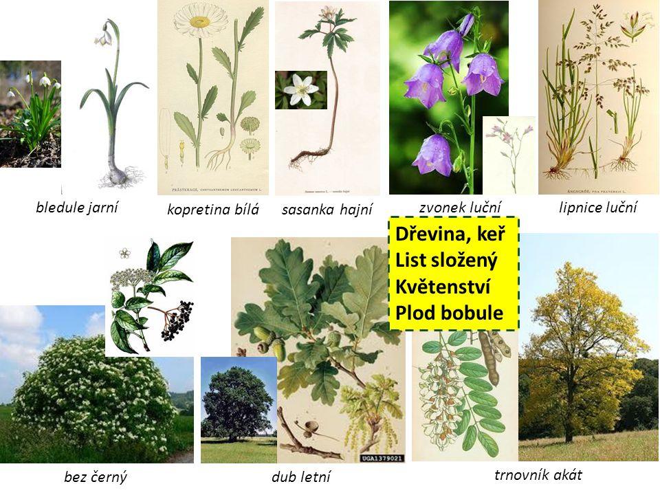 Dřevina, keř List složený Květenství Plod bobule bledule jarní