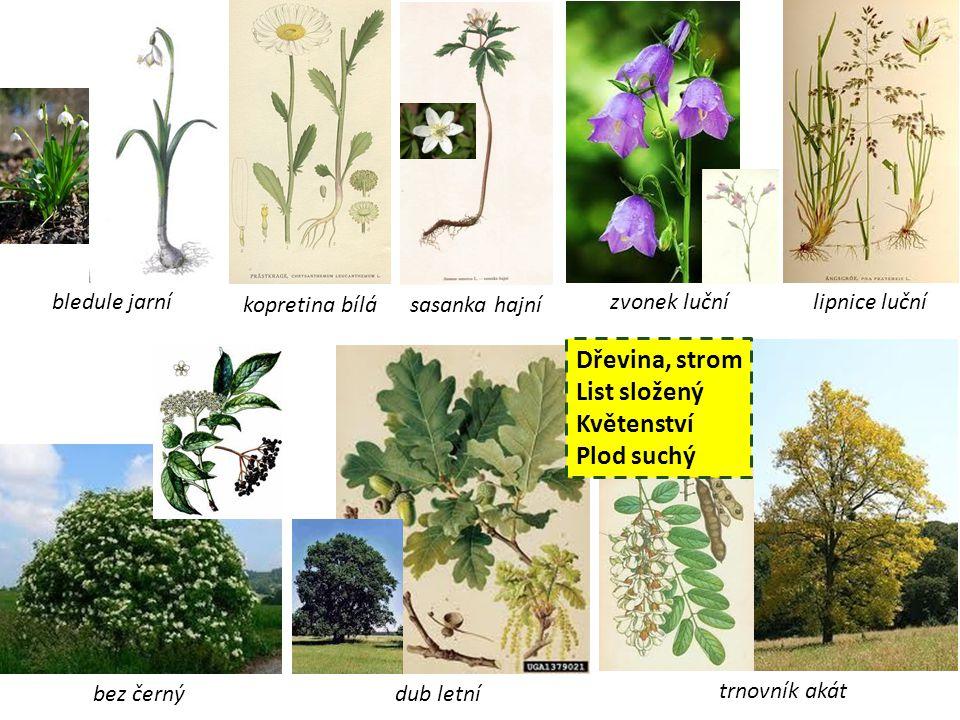 Dřevina, strom List složený Květenství Plod suchý bledule jarní