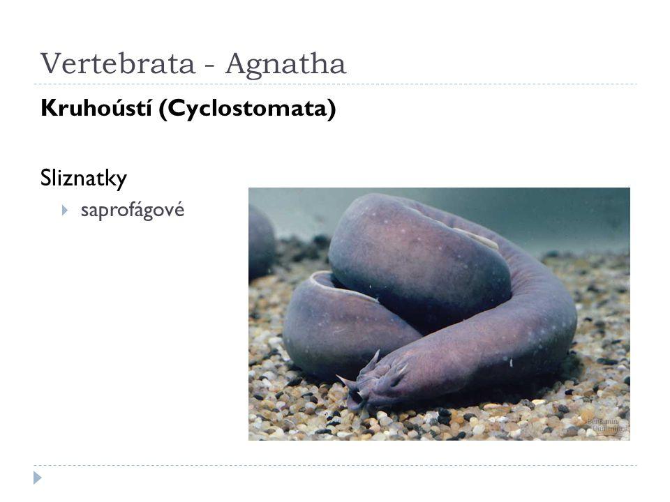 Vertebrata - Agnatha Kruhoústí (Cyclostomata) Sliznatky saprofágové