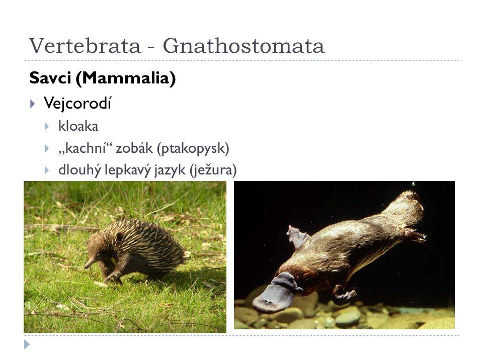 Vertebrata - Gnathostomata