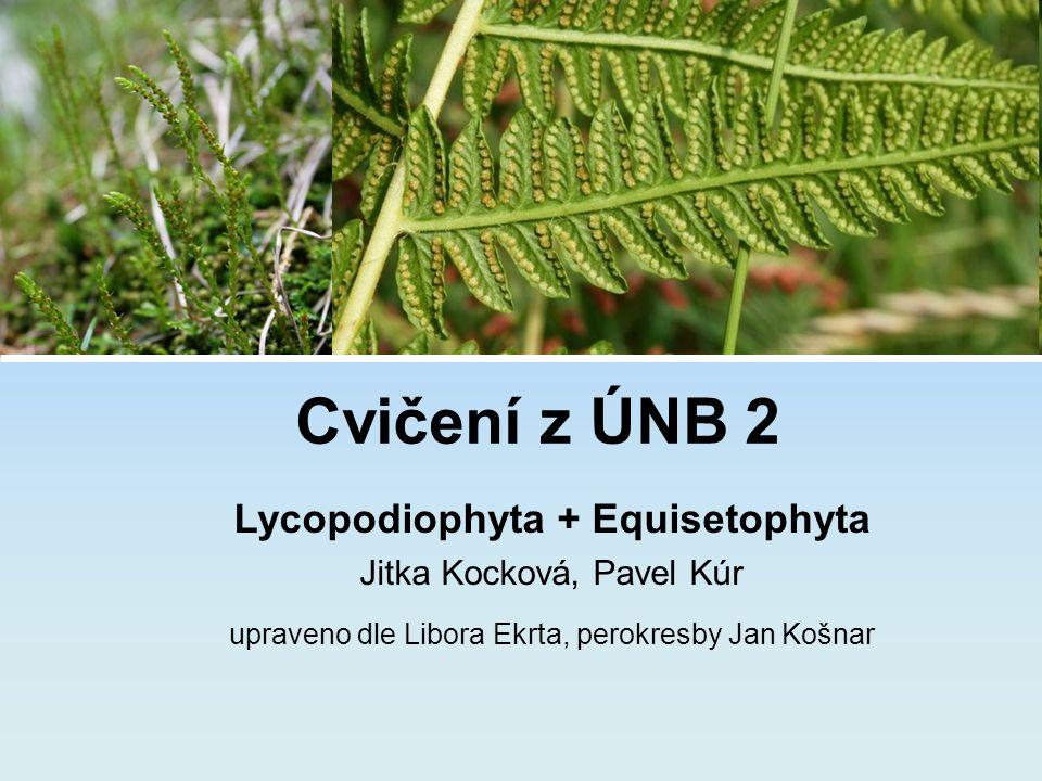 Lycopodiophyta + Equisetophyta