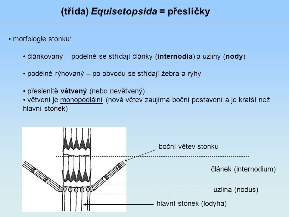 (třída) Equisetopsida = přesličky