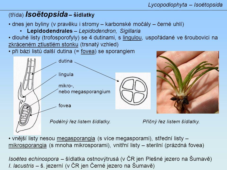 Lycopodiophyta – Isoëtopsida (třída) Isoëtopsida – šídlatky