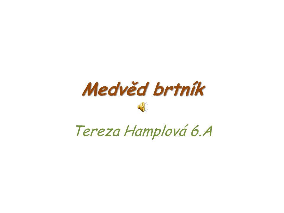 Medvěd brtník Tereza Hamplová 6.A