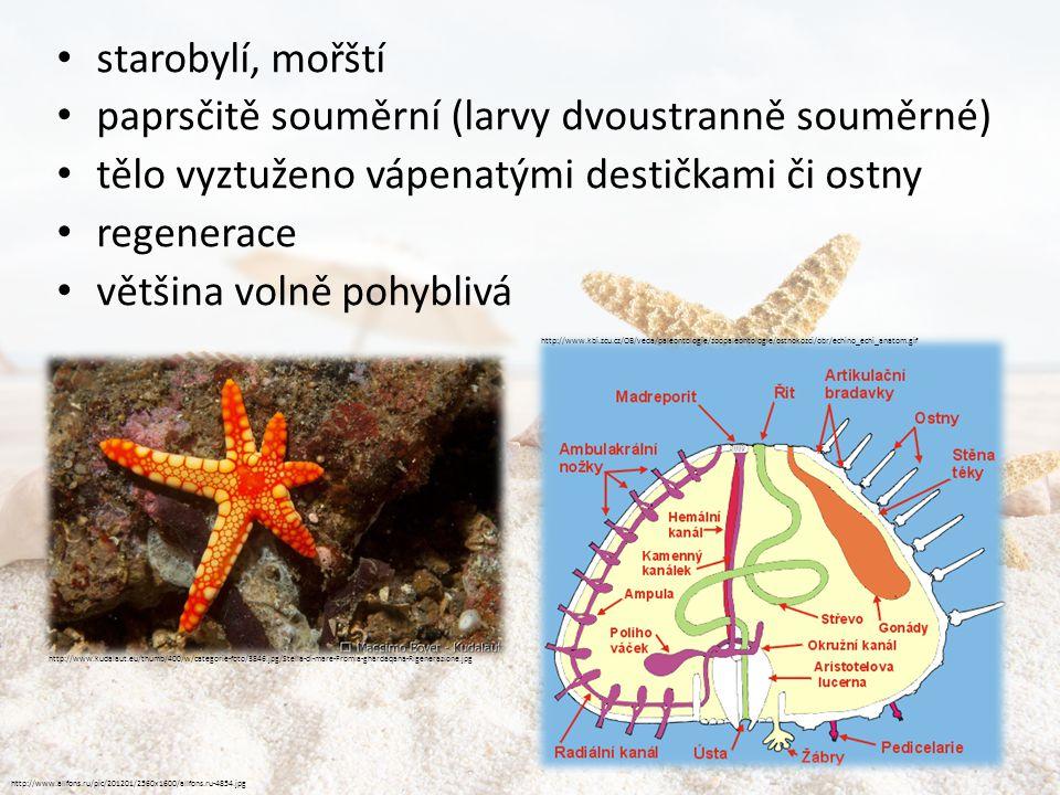 paprsčitě souměrní (larvy dvoustranně souměrné)