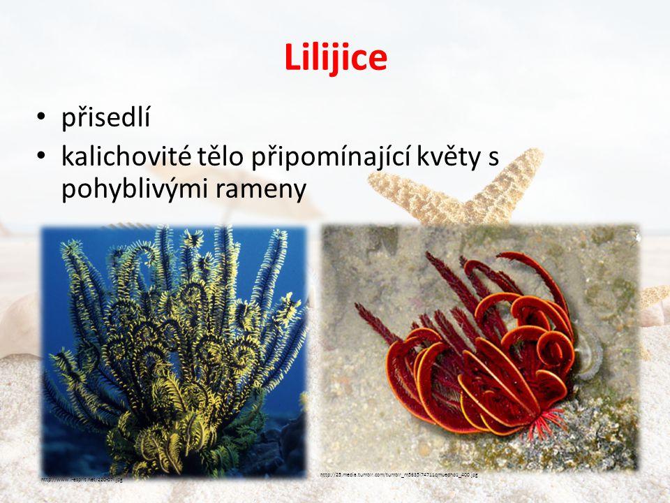 Lilijice přisedlí. kalichovité tělo připomínající květy s pohyblivými rameny. http://25.media.tumblr.com/tumblr_m5635i74711qmuedho1_400.jpg.