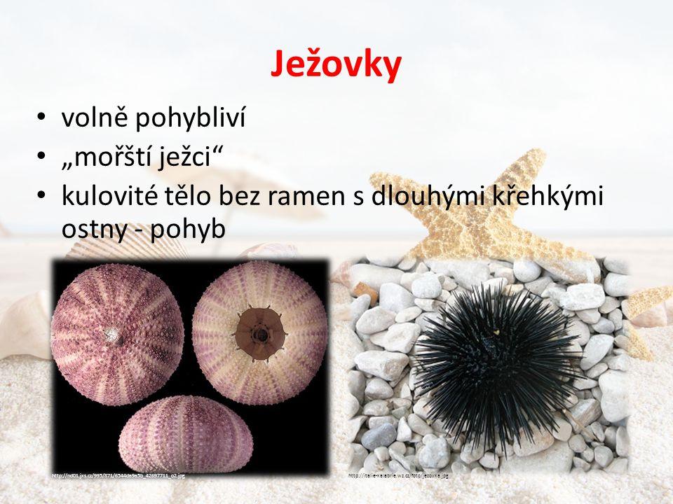 """Ježovky volně pohybliví """"mořští ježci"""