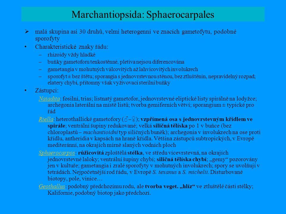 Marchantiopsida: Sphaerocarpales