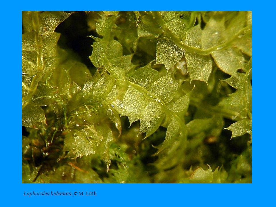 Lophocolea bidentata, © M. Lüth