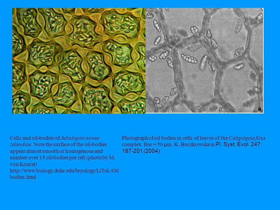 Cells and oil-bodies of Jubulopsis novae-zelandiae