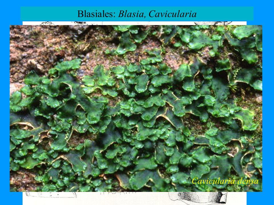 Blasiales: Blasia, Cavicularia