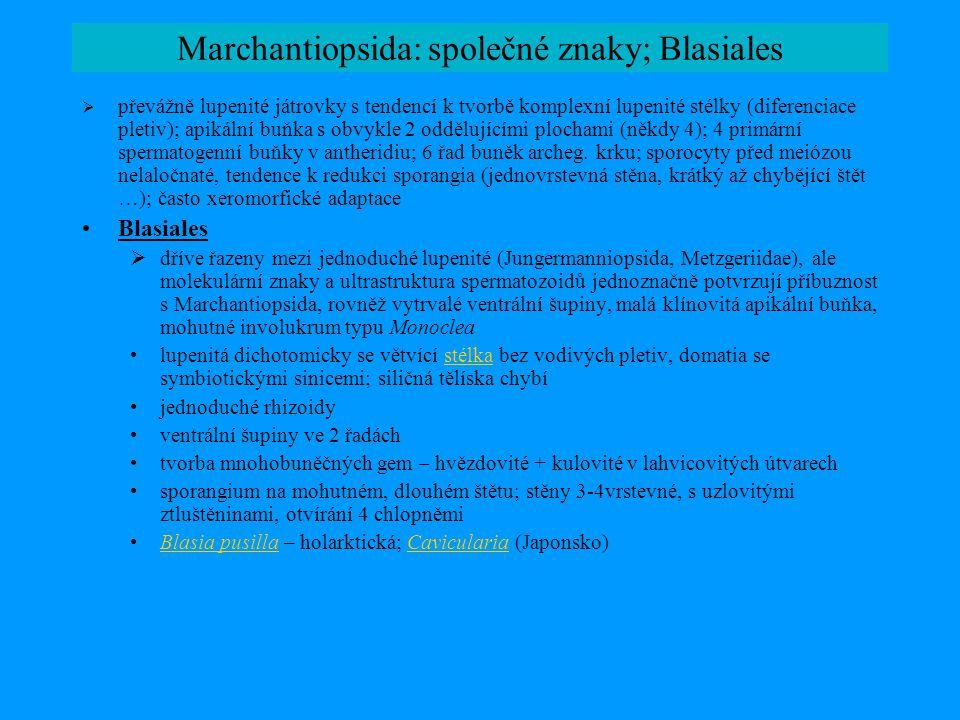Marchantiopsida: společné znaky; Blasiales
