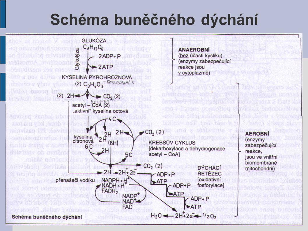 Schéma buněčného dýchání