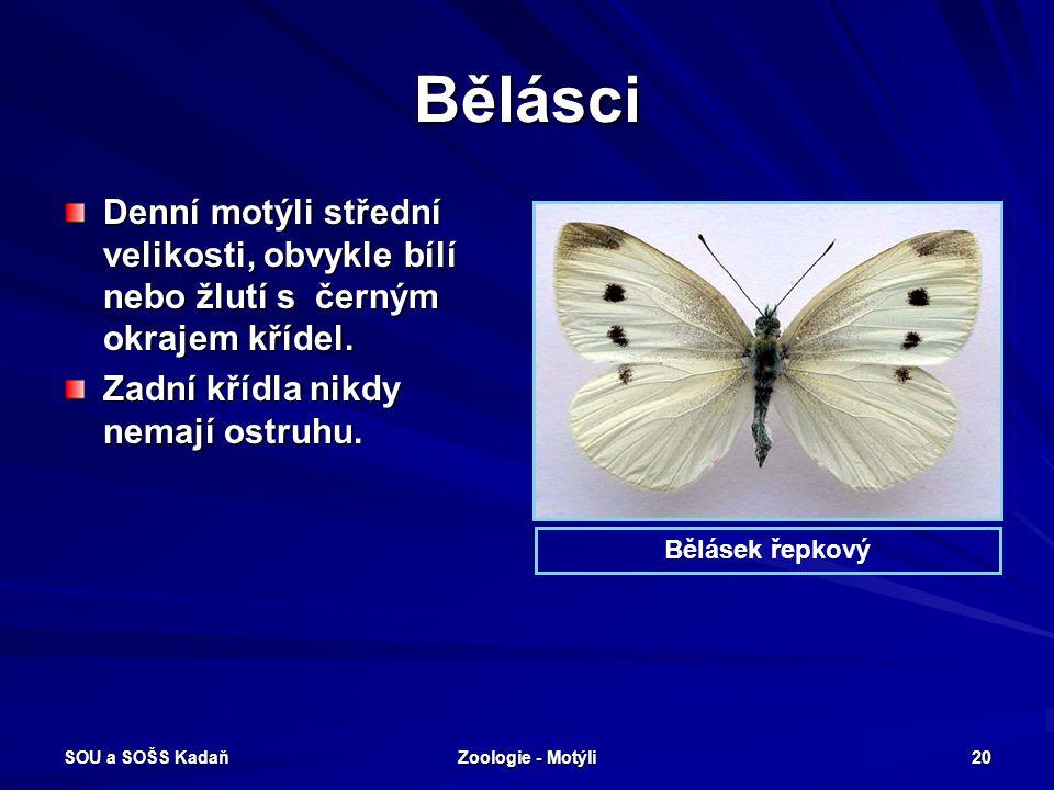 Bělásci Denní motýli střední velikosti, obvykle bílí nebo žlutí s černým okrajem křídel. Zadní křídla nikdy nemají ostruhu.