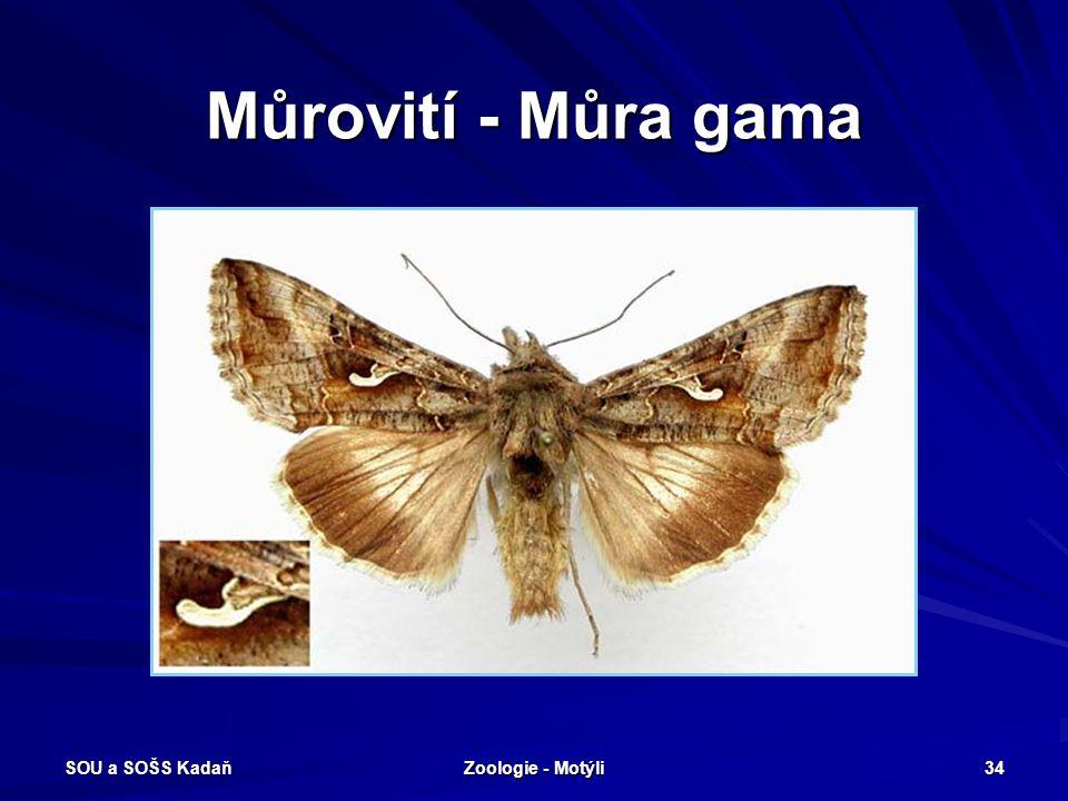 Můrovití - Můra gama SOU a SOŠS Kadaň Zoologie - Motýli