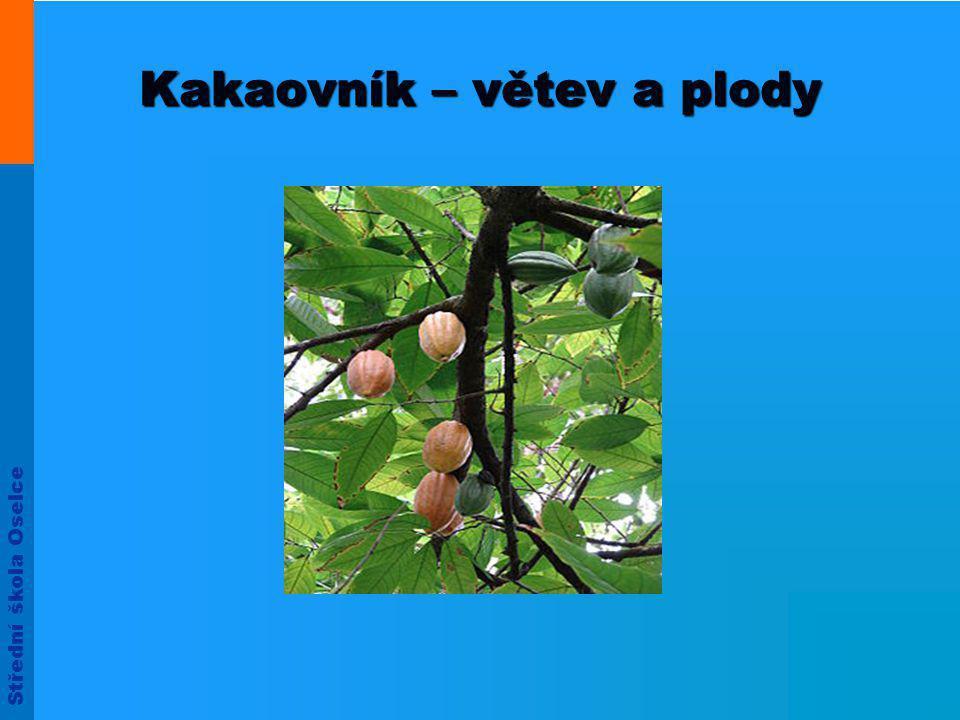 Kakaovník – větev a plody