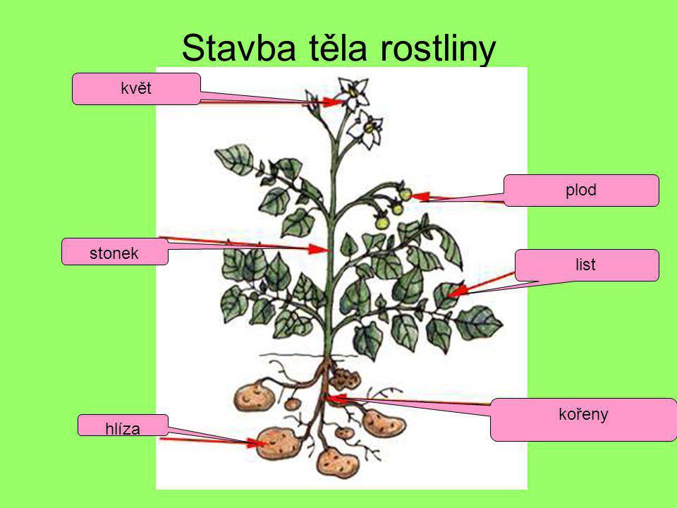 Stavba těla rostliny květ plod stonek list kořeny hlíza