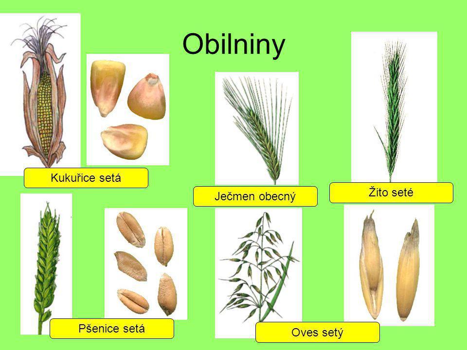 Obilniny Kukuřice setá Žito seté Ječmen obecný Pšenice setá Oves setý