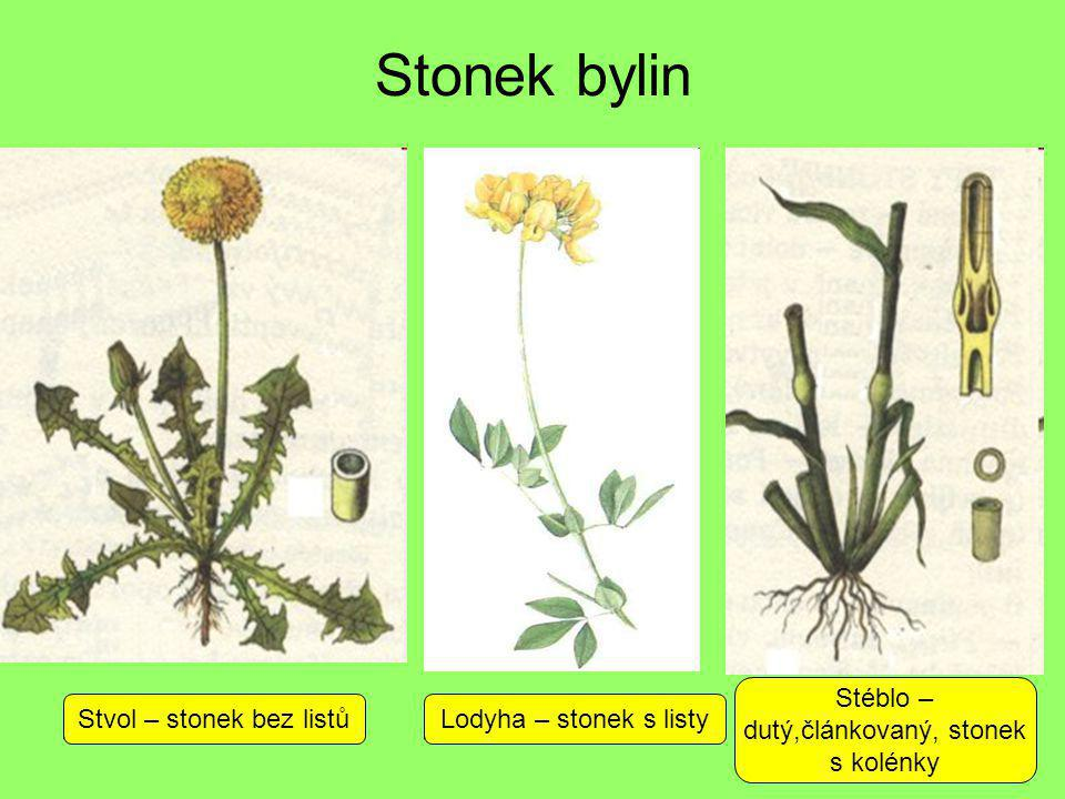 Stonek bylin Stéblo – dutý,článkovaný, stonek s kolénky