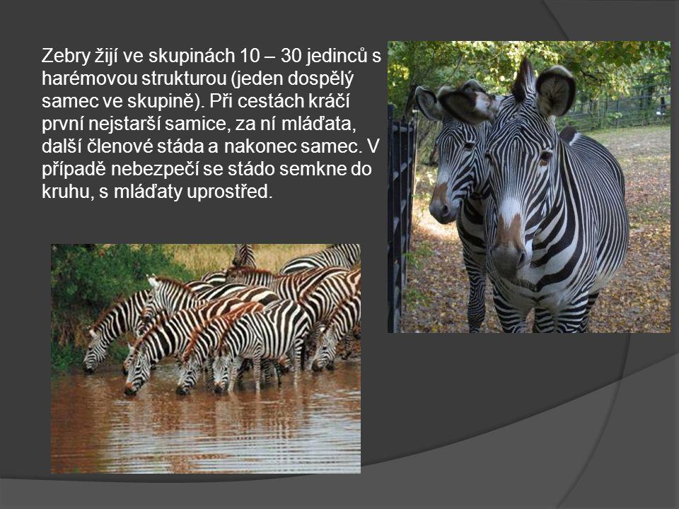 Zebry žijí ve skupinách 10 – 30 jedinců s harémovou strukturou (jeden dospělý samec ve skupině).