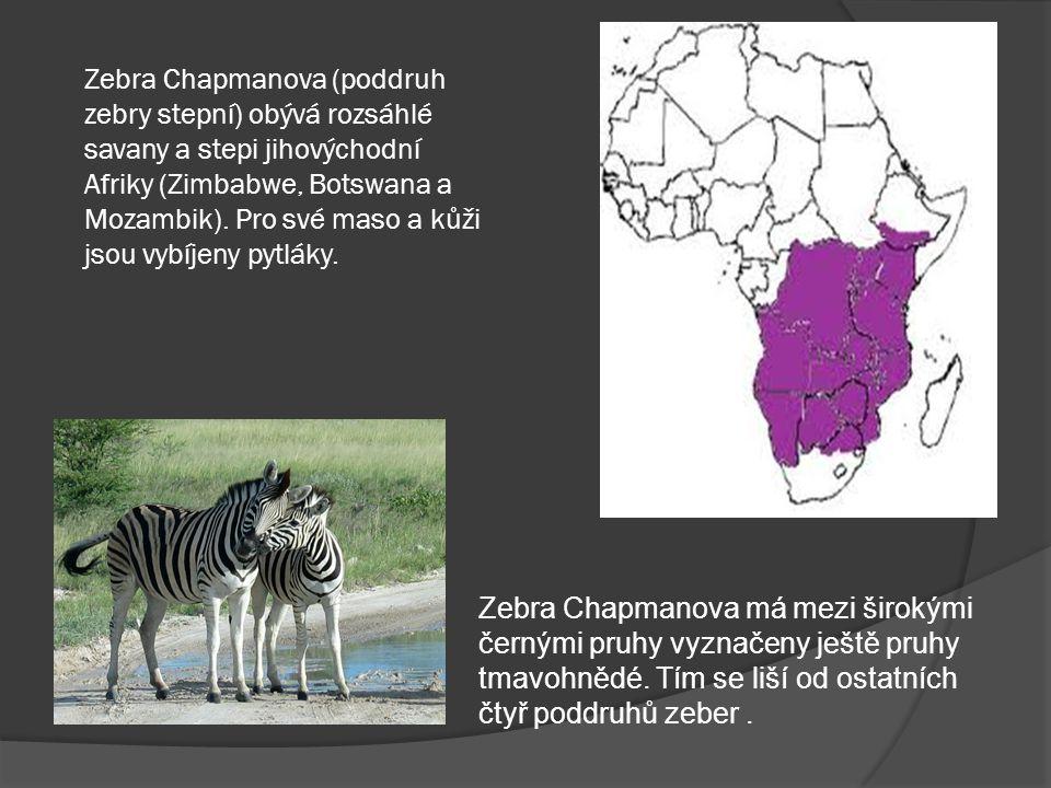 Zebra Chapmanova (poddruh zebry stepní) obývá rozsáhlé savany a stepi jihovýchodní Afriky (Zimbabwe, Botswana a Mozambik). Pro své maso a kůži jsou vybíjeny pytláky.