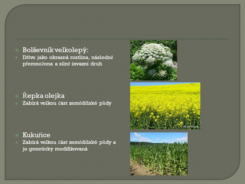 Bolševník velkolepý: Řepka olejka Kukuřice