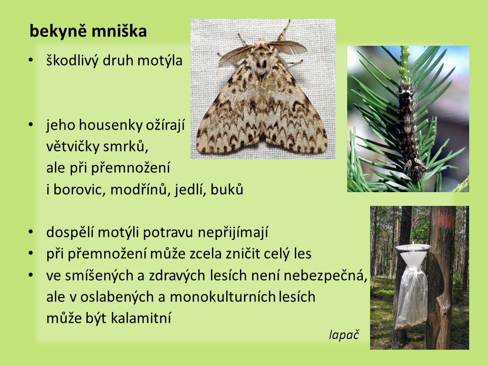 bekyně mniška škodlivý druh motýla jeho housenky ožírají