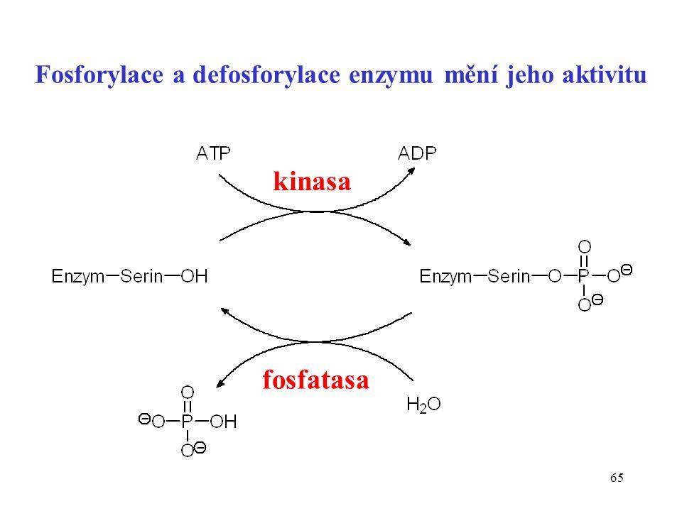 Fosforylace a defosforylace enzymu mění jeho aktivitu
