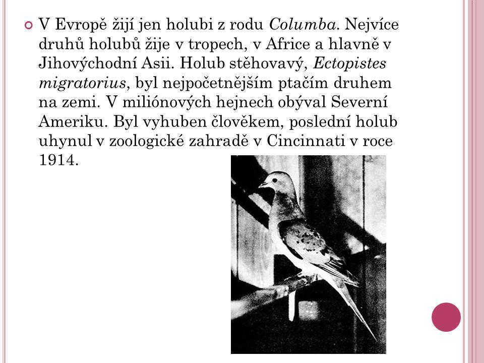 V Evropě žijí jen holubi z rodu Columba