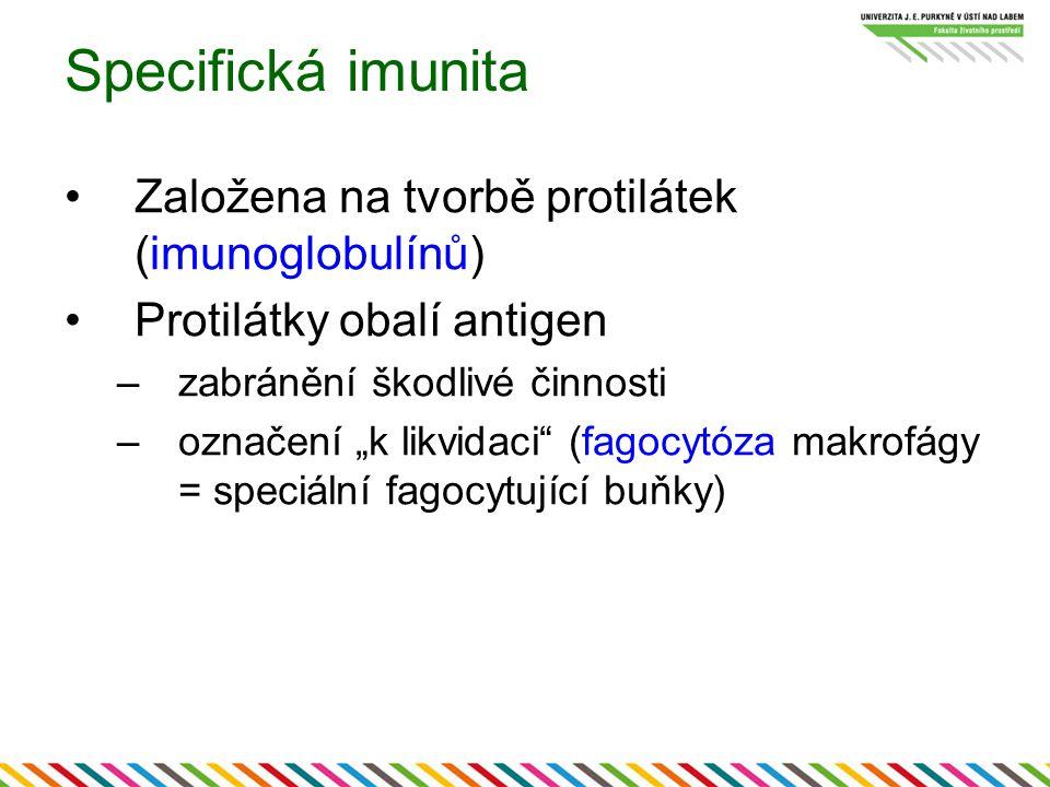 Specifická imunita Založena na tvorbě protilátek (imunoglobulínů)