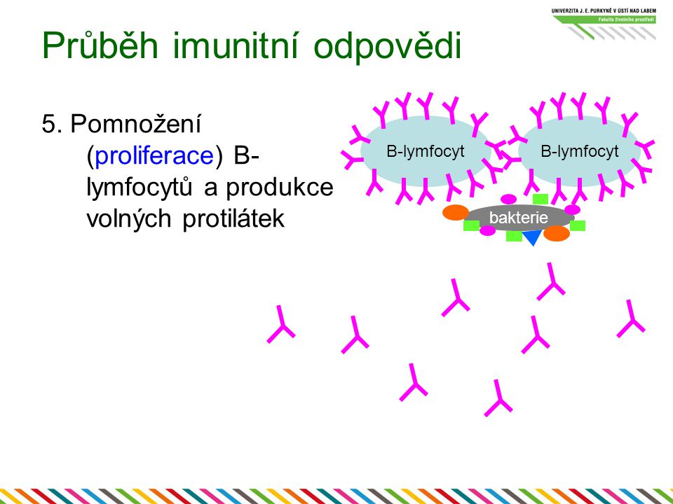 Průběh imunitní odpovědi