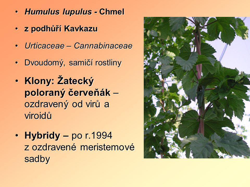 Klony: Žatecký poloraný červeňák – ozdravený od virů a viroidů