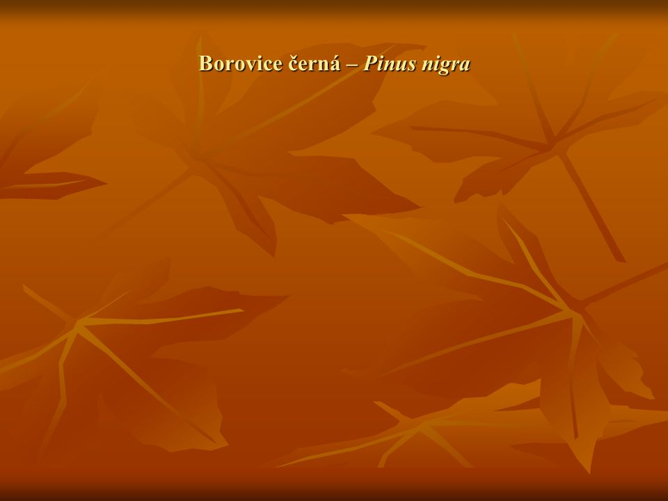 Borovice černá – Pinus nigra