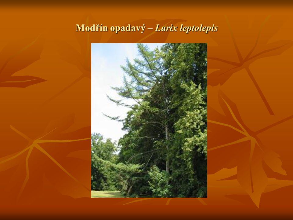 Modřín opadavý – Larix leptolepis