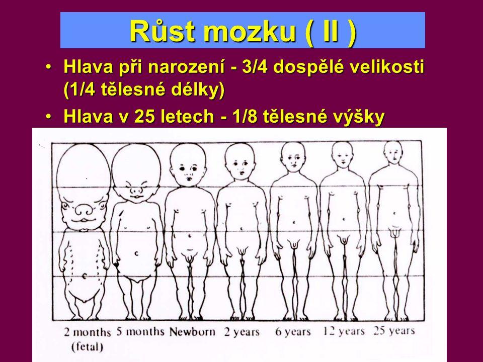 Růst mozku ( II ) Hlava při narození - 3/4 dospělé velikosti (1/4 tělesné délky) Hlava v 25 letech - 1/8 tělesné výšky.