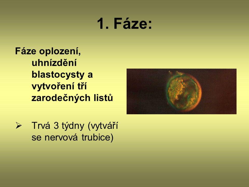 1. Fáze: Fáze oplození, uhnízdění blastocysty a vytvoření tří zarodečných listů.