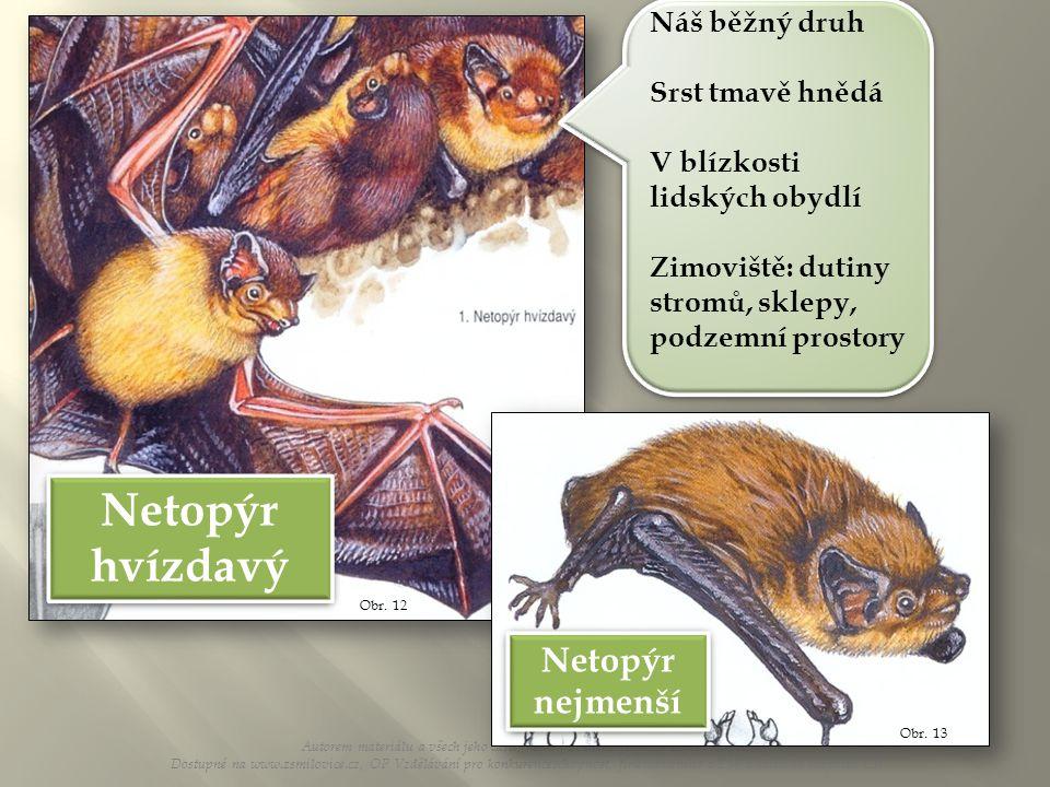 Netopýr hvízdavý Netopýr nejmenší Náš běžný druh Srst tmavě hnědá