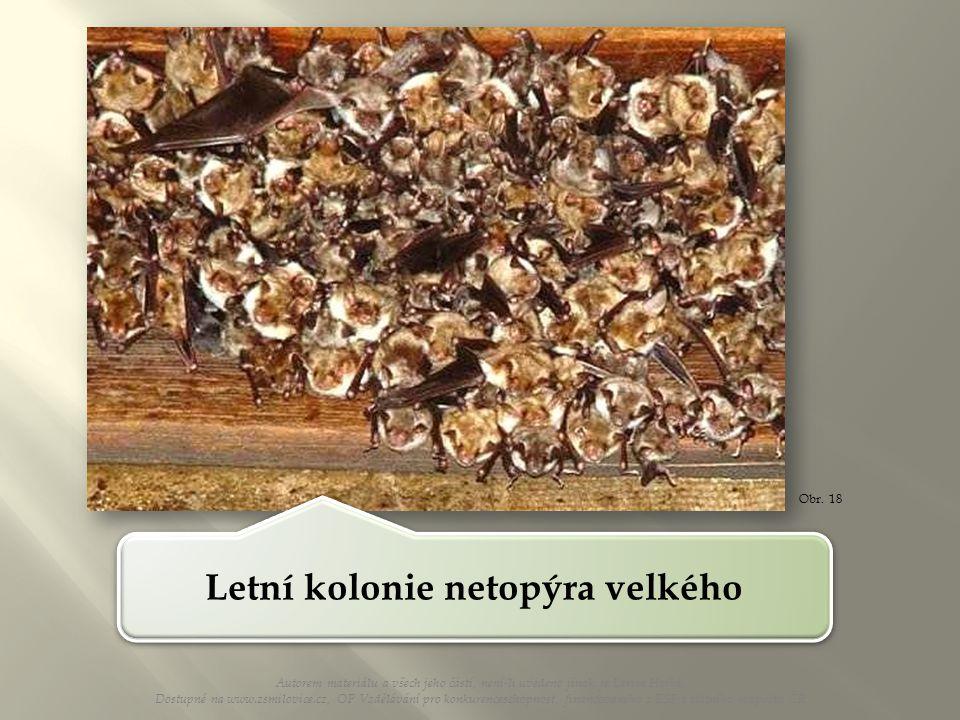 Letní kolonie netopýra velkého