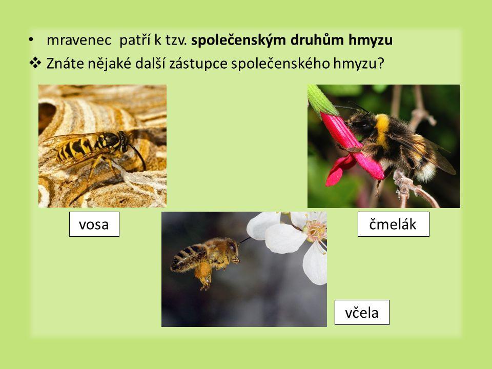 mravenec patří k tzv. společenským druhům hmyzu