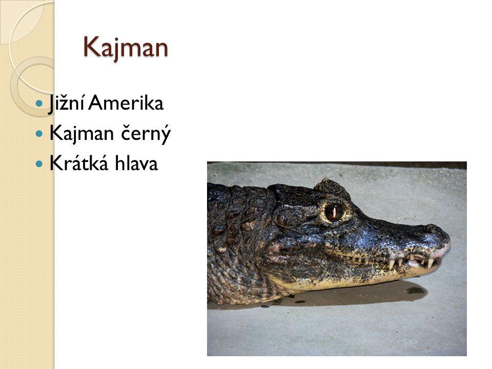 Kajman Jižní Amerika Kajman černý Krátká hlava