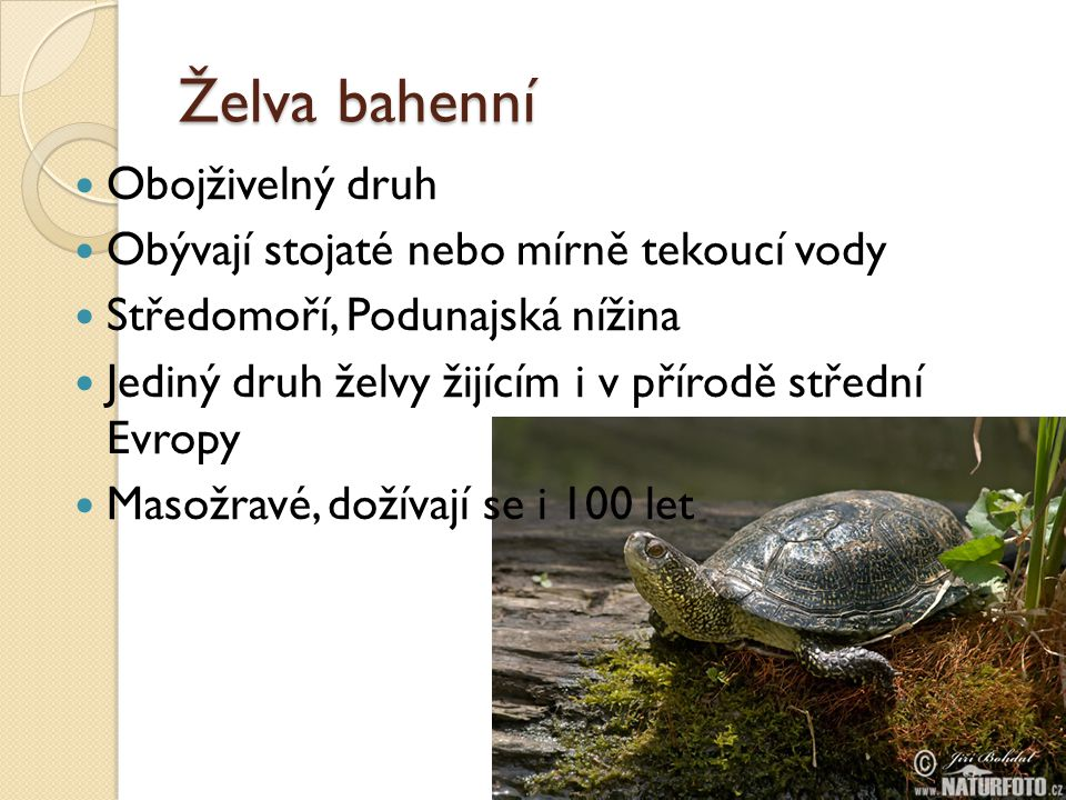 Želva bahenní Obojživelný druh Obývají stojaté nebo mírně tekoucí vody