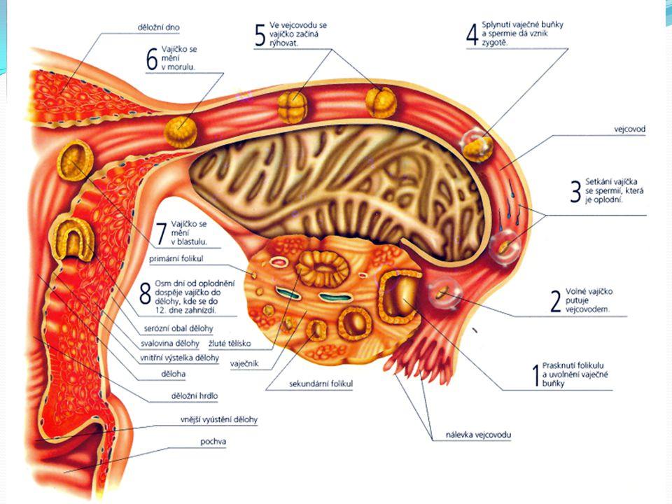 Prenatální vývoj 1. – 4. den oplodnění probíhá nejčastěji ve vejcovodu, asi 30-60 minut po ejakulaci.