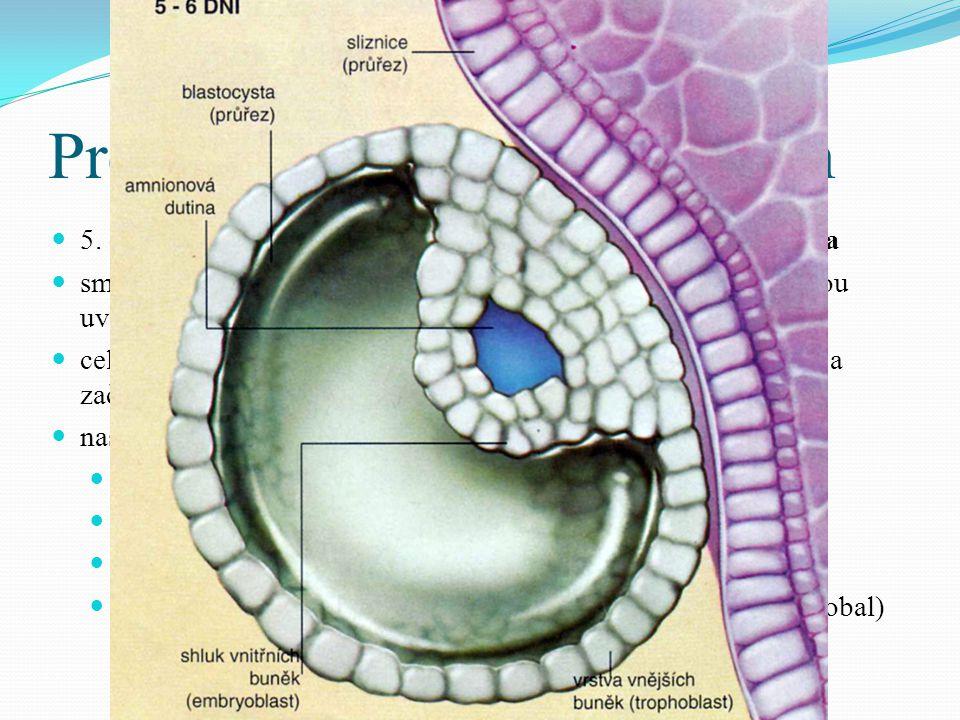 Prenatální vývoj 5. – 8. den 5. den se buňky moruly rozestoupí – vytvoří se dutina – blastula.