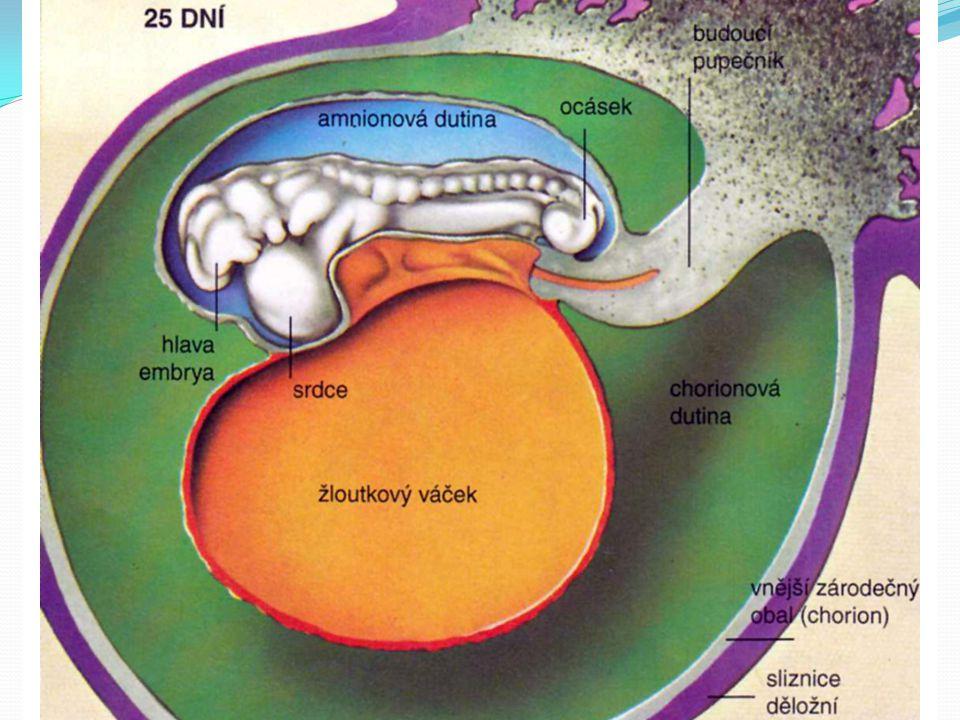 Prenatální vývoj 8. – 28. den