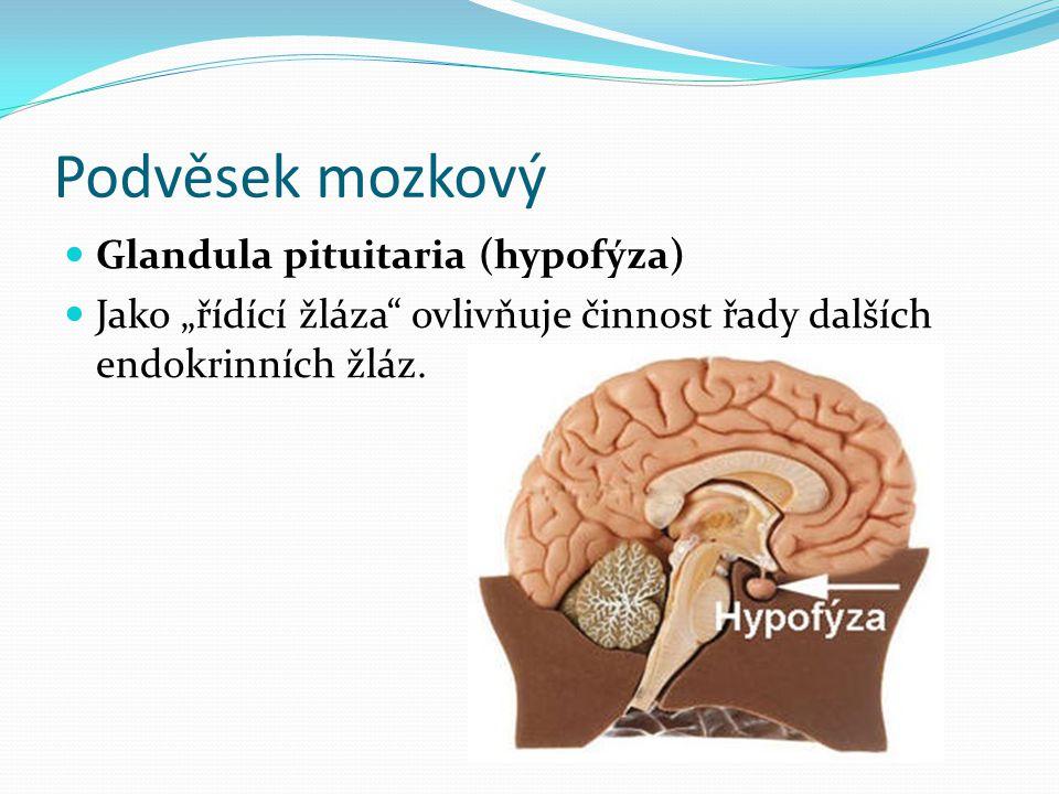 Podvěsek mozkový Glandula pituitaria (hypofýza)