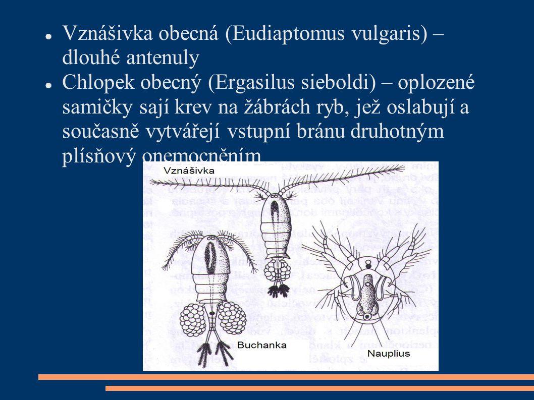 Vznášivka obecná (Eudiaptomus vulgaris) – dlouhé antenuly