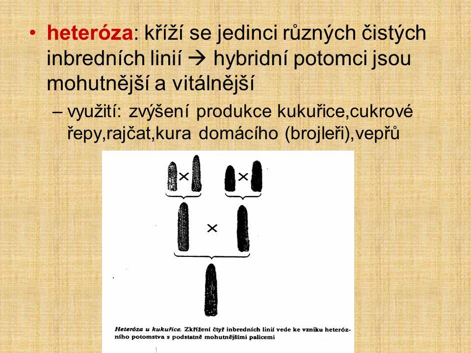 heteróza: kříží se jedinci různých čistých inbredních linií  hybridní potomci jsou mohutnější a vitálnější