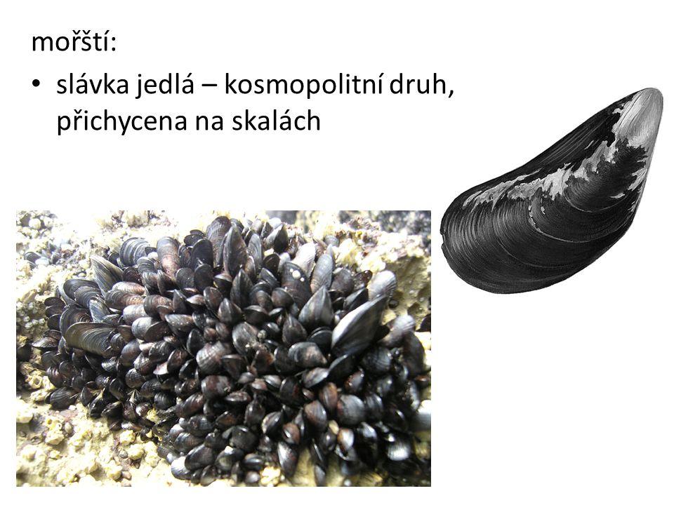mořští: slávka jedlá – kosmopolitní druh, přichycena na skalách