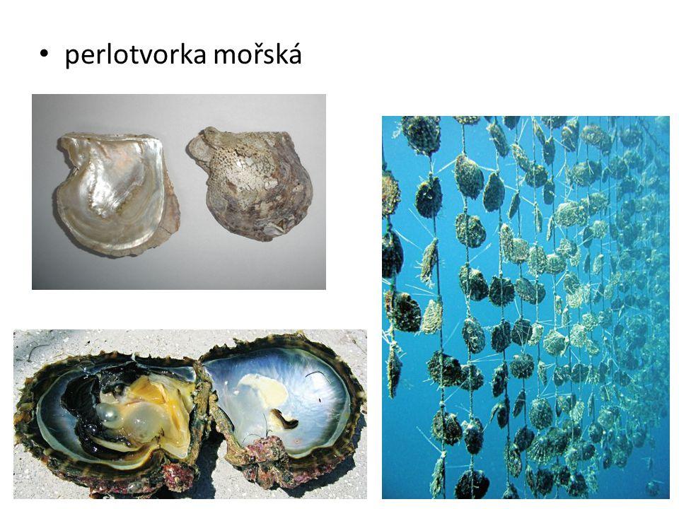 perlotvorka mořská